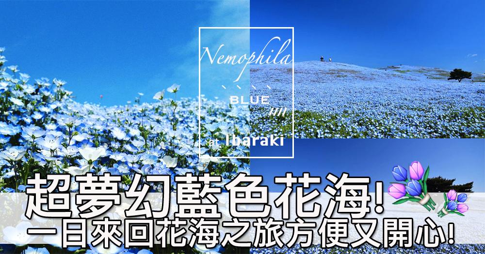 花海同天空融為一體既景色?日立海濱公園超夢幻粉蝶花花海~好blue好true啊!