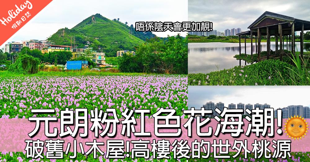 賞花憩息好地方~元朗粉紅色鳳眼藍花海!高樓後的世外桃園!