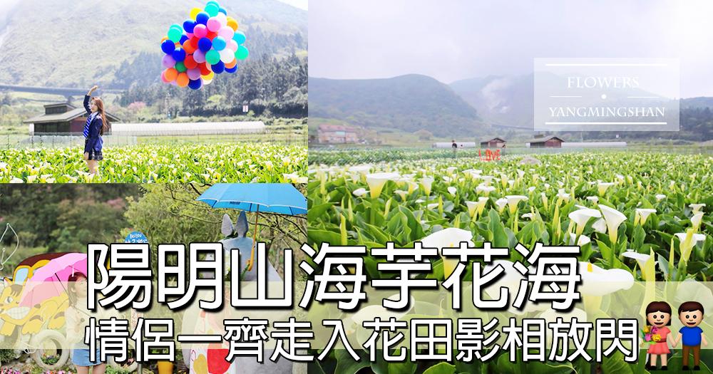 台北海芋花海呀~~上陽明山睇超大片花海,情侶必到影位打卡位~迎著風一路欣賞海芋~~