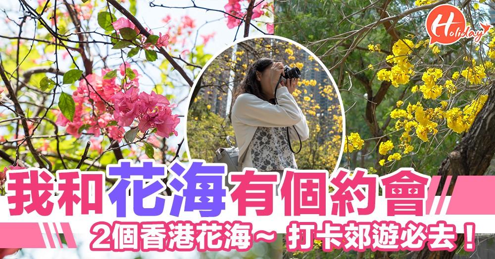 我和花海有個約會~必不可錯過嘅香港兩大賞花熱點~金黃風鈴木~粉嫩杜鵑花~花花世界瘋狂打卡!!