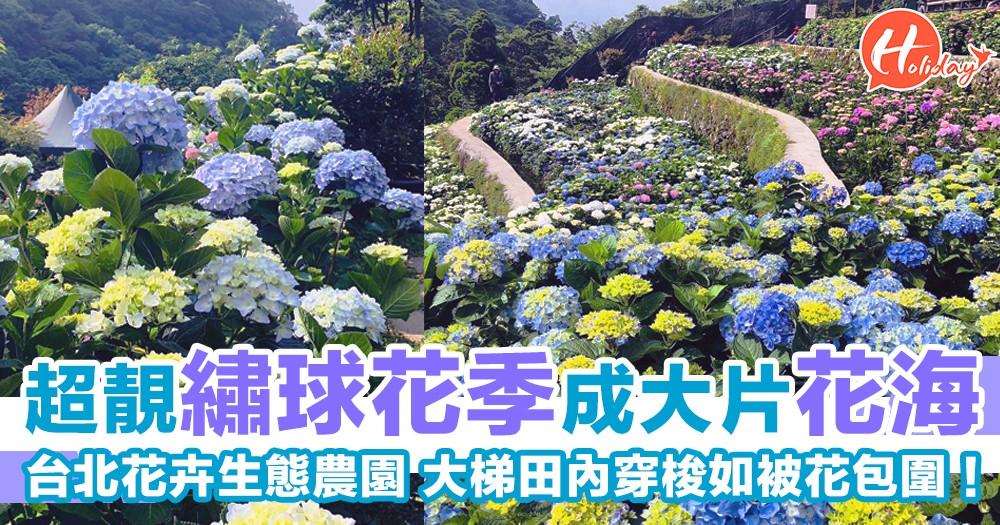 唔駛走到日本都睇到!台北超靚繡球花季成大片花海~大梯田內穿梭如被花包圍!