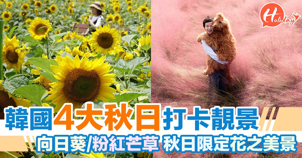 韓國濟州島4大秋日必去打卡靚景 波斯菊/粉紅色芒草/向日葵 秋日限定花之美景