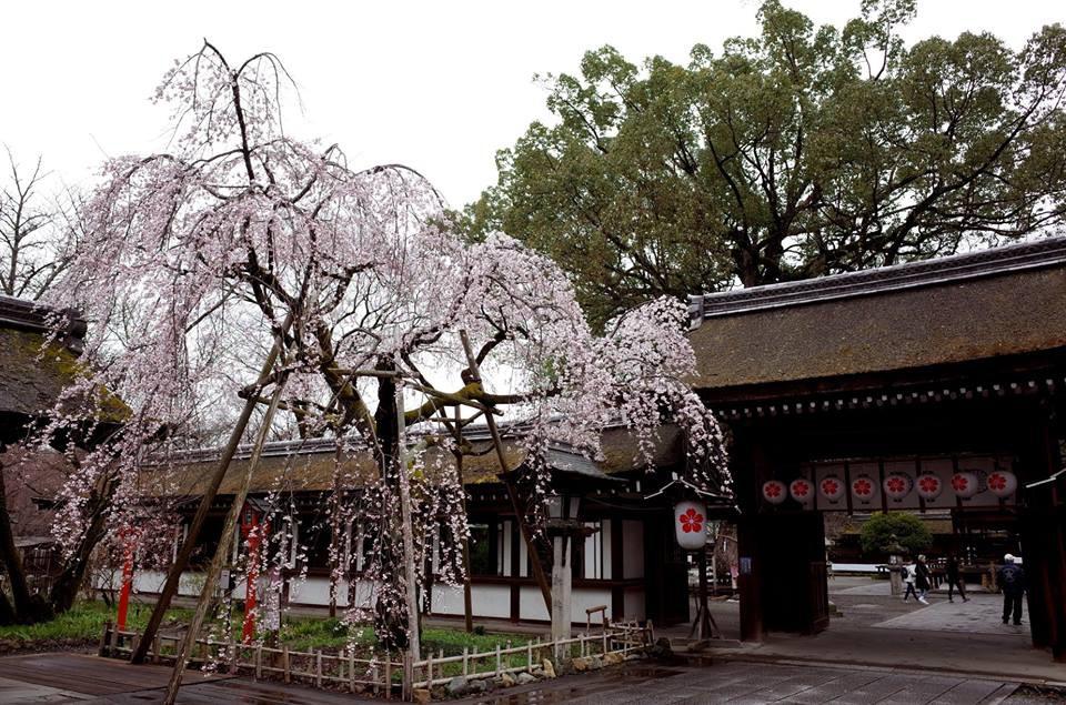 平野神社/Twitter